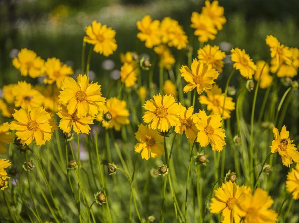 7 Jenis Bunga untuk Halaman Rumah yang Cantik dan Tahan Banting