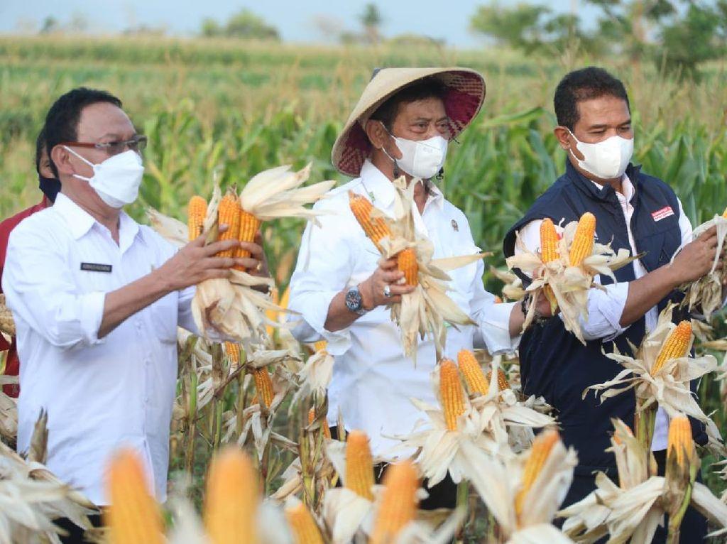 Panen Jagung di NTT, Mentan: Produksi Harus Terus Digenjot