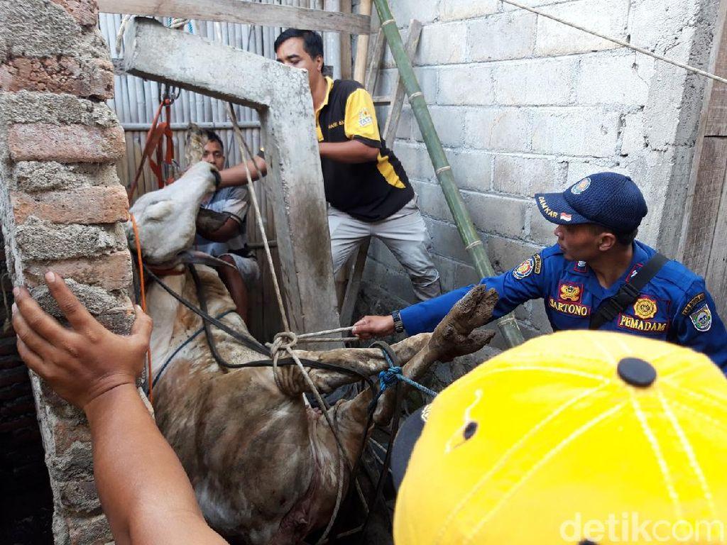 Detik-detik Evakuasi Sapi Tercemplung Sumur di Boyolali