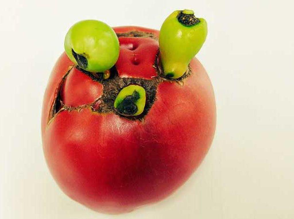 Mirip Buah Beracun, Tomat Ini Punya Bentuk Menyeramkan