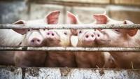 Fatwa Al Azhar Bolehkan Transplantasi Ginjal Babi ke Manusia Jika Mendesak