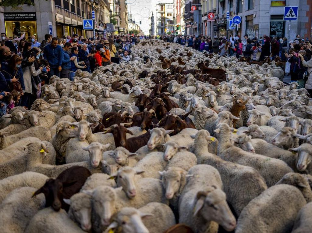 Kawanan Domba Menyumbat di Jalanan Kota Madrid