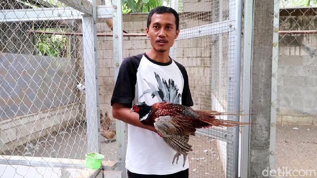 Meraup Cuan dari Ternak Ayam Pendeteksi Gempa