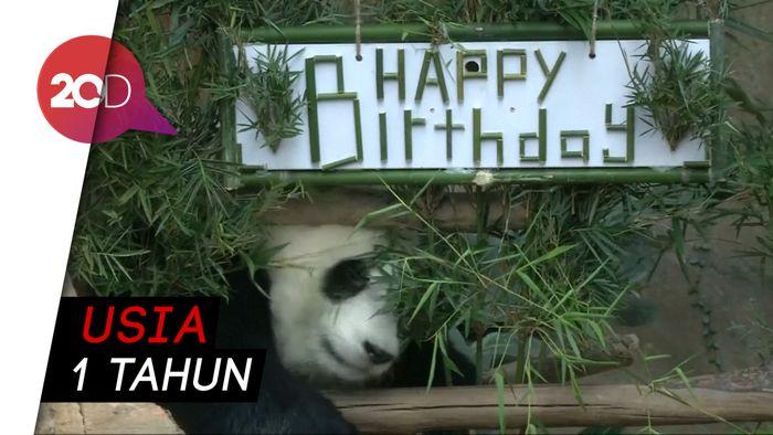 Lucunya Panda  di Malaysia Rayakan Ulang Tahun