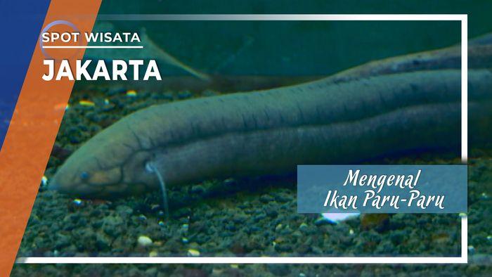 Mengenal Lebih Dekat Ikan Paru-Paru Afrika, Jakarta