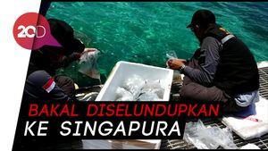 TNI AL Gagalkan Penyelundupan Baby Lobster Senilai Rp 46 M