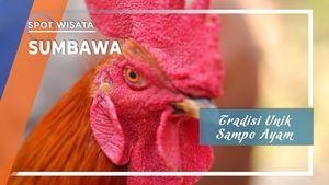 Sampo Ayam, Tradisi Unik Desa Kalabeso, Buer, Sumbawa, Nusa Tenggara Timur