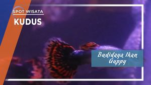 Budidaya Ikan Guppy, Kudus
