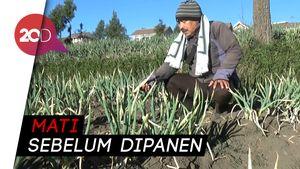 Duh, Kebun Petani di Kawasan Bromo Rusak Gegara Embun Upas