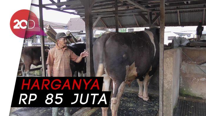 Sapi Tyson Berbobot 1 Ton, Hewan Kurban Jokowi di Sulbar