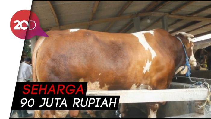 Jokowi Berkurban Sapi Berbobot 1,2 Ton di Banten