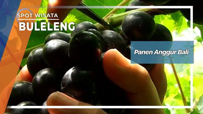 Panen Anggur Buleleng Di Singaraja Bali