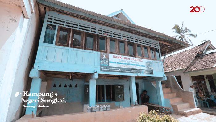 Urine Kambing, Penyokong Kehidupan di Ujung Lampung