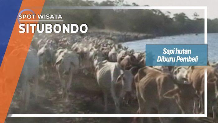 Sapi Hutan Diburu Pembeli di Situbondo
