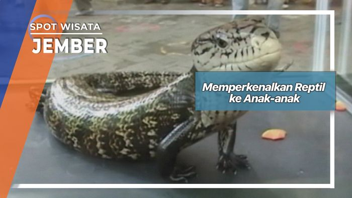 Memperkenalkan Reptil ke Anak-anak, Jember