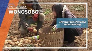 Merawat dan Memanen Kebun Kentang Wonosobo