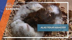 Alas Tidur Hamster, Bandung