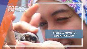 Sugar Glider, Si Sahabat Mungil Papua di Surabaya