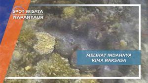 Melihat Indahnya Kima atau Kerang Raksasa, Napanyaur, Papua Barat