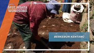 Beginilah Cara Masyarakat Dieng Menanam Kentang, Wonosobo, Jawa Tengah