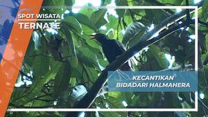 Bidadari Halmahera, Wekaweka Penghuni Pelosok Hutan Ternate