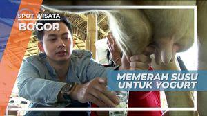 Pengalaman Seru, Memerah Sapi Lansung di Peternakan, Bogor