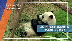 Melihat Lucunya Aktivitas Panda di Kebun Binatang, Singapura