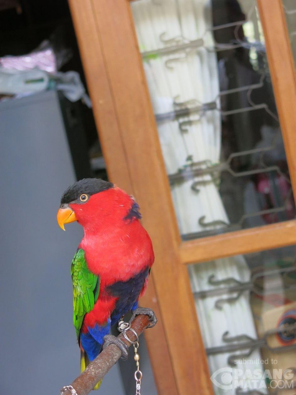 Burung Nuri Kepala Hitam Yang Dilindungi Yangunik Pasangmata