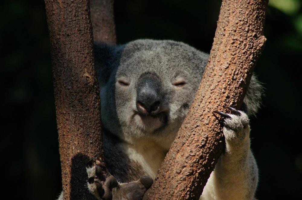 Wajib Coba di Australia! Beri Makan Kanguru dan Gendong Koala