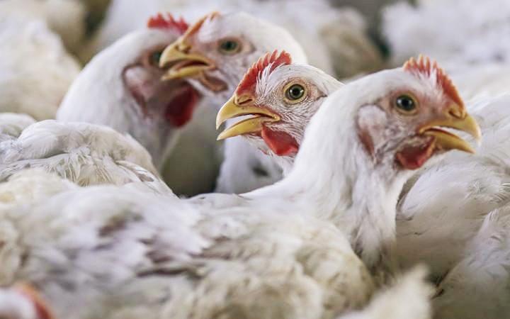 Pemakaian Antibiotik pada Hewan Ternak Bisa Picu Resistensi Obat Bagi Manusia
