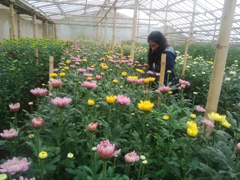 Ide Liburan Akhir Pekan di Pasuruan: Jalan-jalan ke Kebun Bunga Krisan