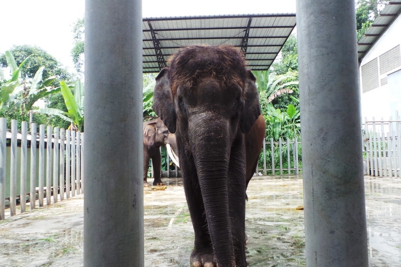 Melihat Proses Penimbangan Gajah di Taman Safari Prigen