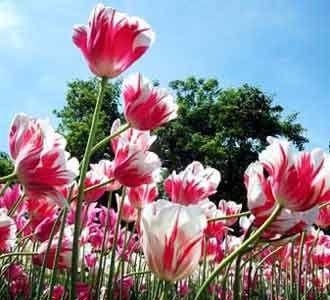 Terpesona Kecantikan Tulip
