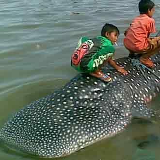Hiu 5 Meter Ditangkap Nelayan