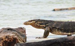 NTT Punya Pulau Komodo, Indramayu Punya Pulau Biawak