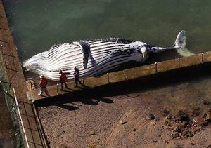 Paus 25 Ton Terdampar di Australia