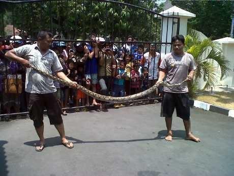 Ular Phyton 3 Meter Diselamatkan Polisi Semarang