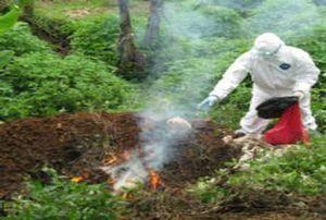 Flu Burung Baru di Indonesia Belum Jangkiti Manusia