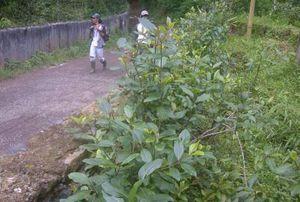Tumbuhan Mirip Ghat \Chatinone\ Tumbuh Subur di Puncak