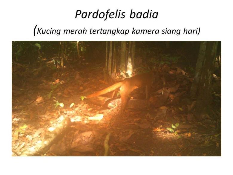 Kucing Merah & Hewan Langka Lain Ada di Taman Nasional Kutai