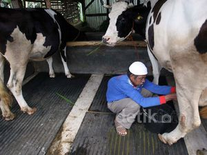 Melihat Peternakan Sapi Perah Penghasil Susu