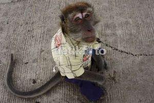 Manusia Tularkan Hepatitis ke Monyet, Ditularkan Lagi ke Manusia