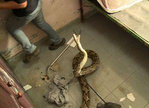 Python 4 Meter Mengamuk di Rumah Warga Joglo Saat Hendak Dievakuasi