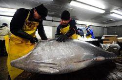 Bluefin Tuna dan Pufferfish Terancam Punah Karena Tingginya Konsumsi