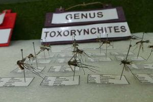 Yuk Lihat-lihat Isi Museum Nyamuk di Pangandaran