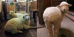 Di Thanks to Nature Cafe Ini Bisa Ngopi Sambil Mengelus Bulu Domba yang Lembut