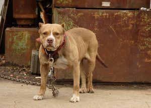 Digigit Anjing Pitbull, 4 Orang di AS Terinfeksi Bakteri Yersinia Pestis