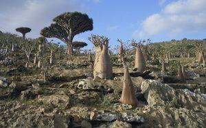 Socotra, Pulau Misterius yang Penuh Tumbuhan Aneh
