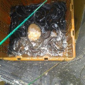 Benih Ikan Ular Sidat Bisa Laku Rp 60 Juta/Kg di Jepang