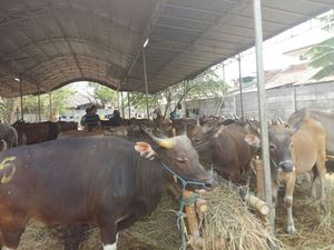 Bandar Sapi dari Depok Ini Raup Ratusan Miliar Rupiah Tiap Idul Adha